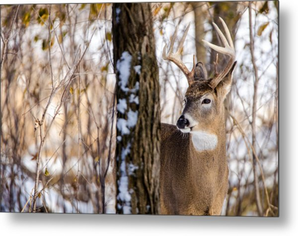 Metal Print featuring the photograph Woodland Outlaw by Steven Santamour