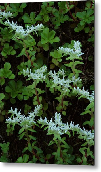Metal Print featuring the photograph Woodland Stonecrop by Daniel Reed