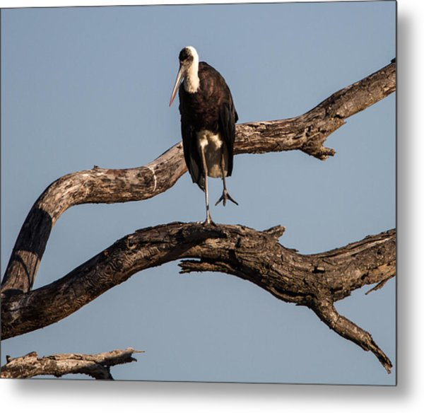 Woolly Necked Stork Metal Print by Craig Brown