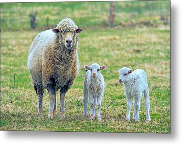 Wooly Babies   Metal Print by Constantine Gregory