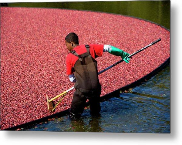 Workers Harvesting Cranberries Metal Print