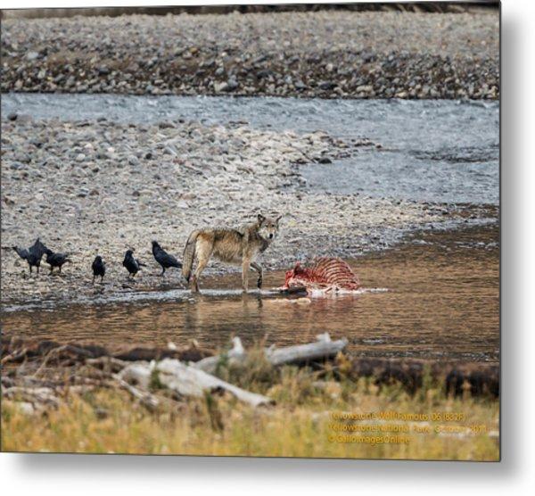 World Famous Yellowstone Gray Wolf 06' Metal Print