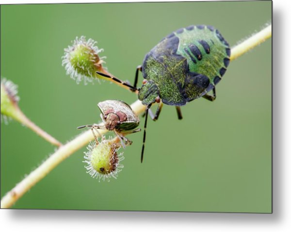 Woundwort And Common Green Shieldbugs Metal Print