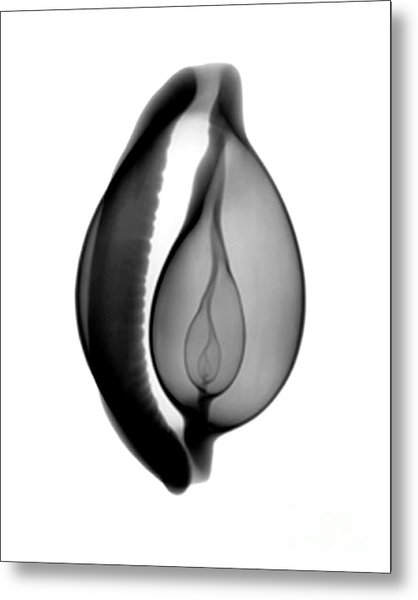 X-ray Of Cowrie Shell Metal Print