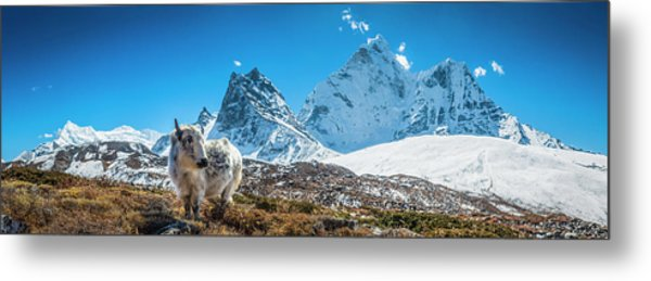 Yak Calf Grazing In High Altitude Metal Print by Fotovoyager