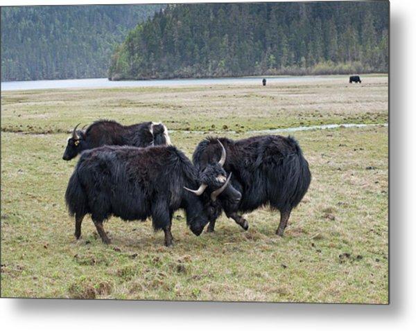 Yaks Fighting In Potatso National Park Metal Print