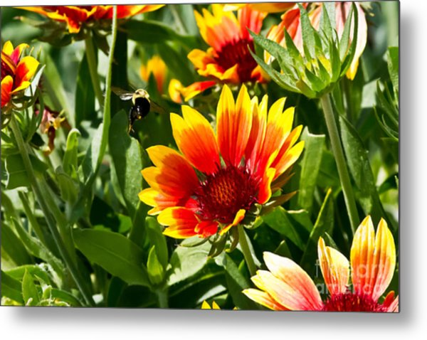 Yellow And Red Gaillardias And Bee Metal Print
