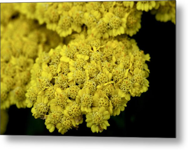 Yellow Beauties Metal Print by John Holloway