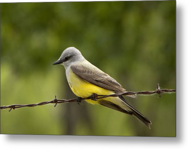Yellow-bellied Fence-sitter Metal Print