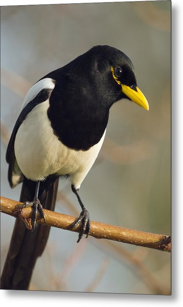 Yellow-billed Magpie Metal Print
