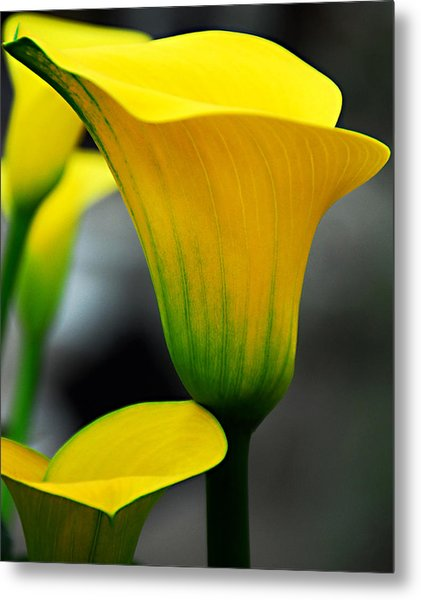 Yellow Calla Lily Metal Print