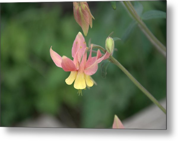Yellow Columbine Metal Print