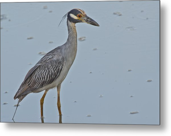 Yellow-crowned Night-heron - 2866 Metal Print