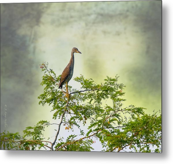 Yellow-crowned Night Heron Swaying In The Wind Metal Print by J Larry Walker