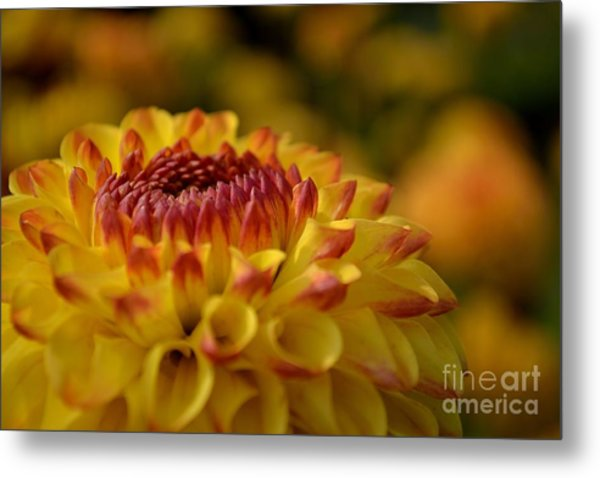 Yellow Dahlia Red Tips Metal Print