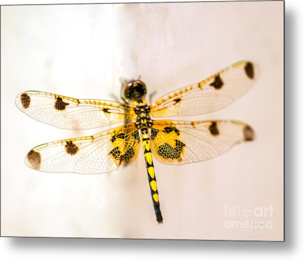 Yellow Dragonfly Pantala Flavescens Metal Print