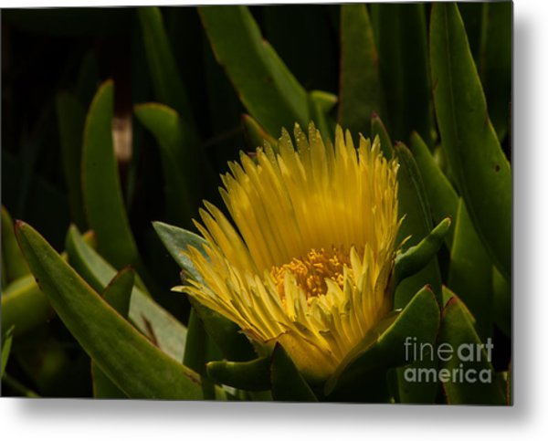 Yellow Flower  1.7098 Metal Print by Stephen Parker