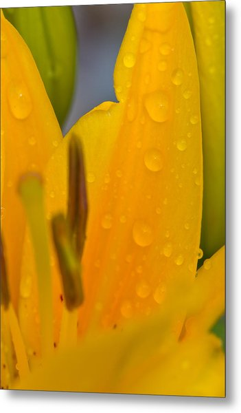 Yellow Flower With Water Drops Metal Print