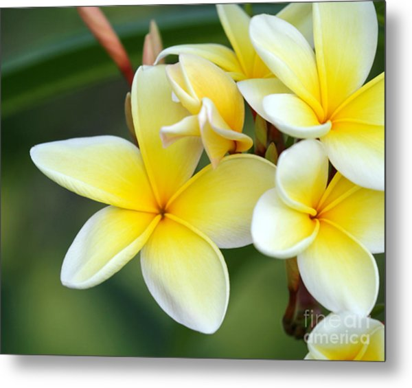 Yellow Frangipani Flowers Metal Print