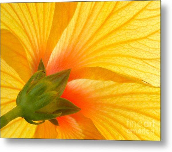 Yellow Hibiscus Backlit Macro Metal Print