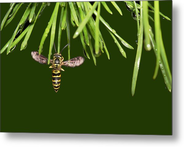 Metal Print featuring the photograph Yellow Jacket At Pine Needles With Raindrops by Daniel Reed