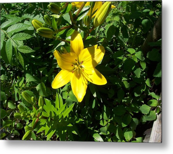 Yellow Lilly Metal Print