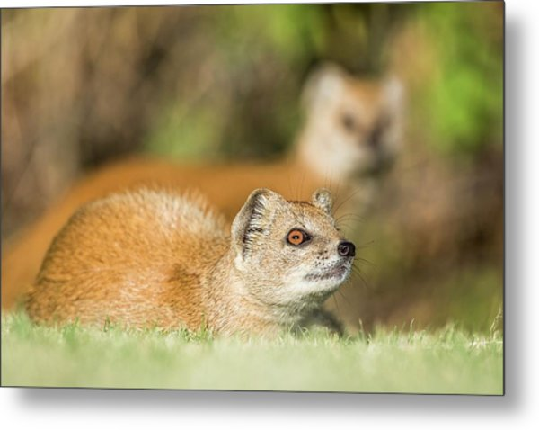 Yellow Mongoose Metal Print by Peter Chadwick/science Photo Library