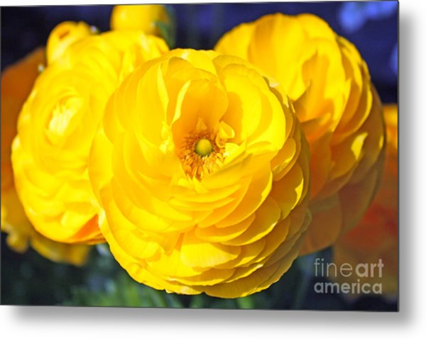 Yellow Peonies Metal Print