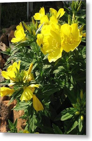 Metal Print featuring the photograph Yellow Primroses by Deb Martin-Webster