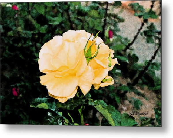 Yellow Rose And Bud Metal Print by Christopher Bage