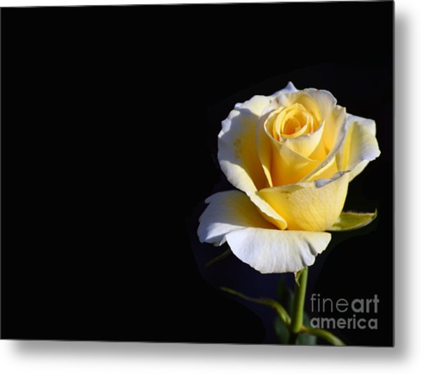 Yellow Rose On Black Metal Print