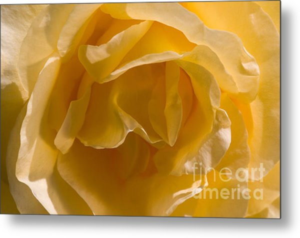 Yellow Rose Ruffles Metal Print
