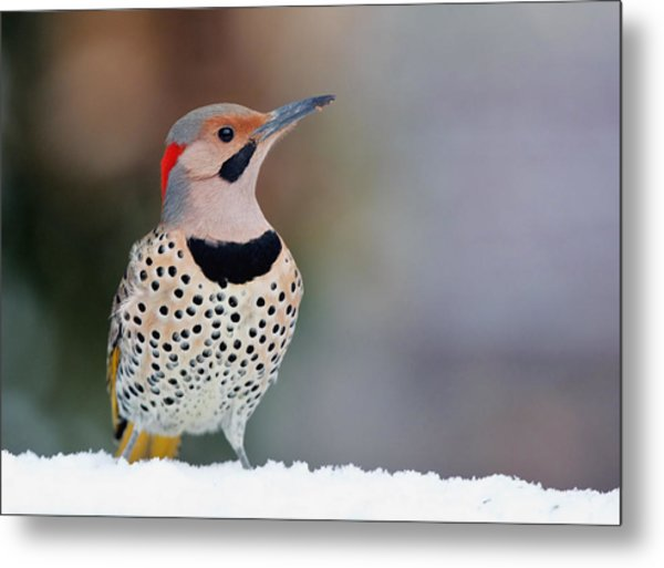 Yellow Shafted Flicker In Snow Metal Print
