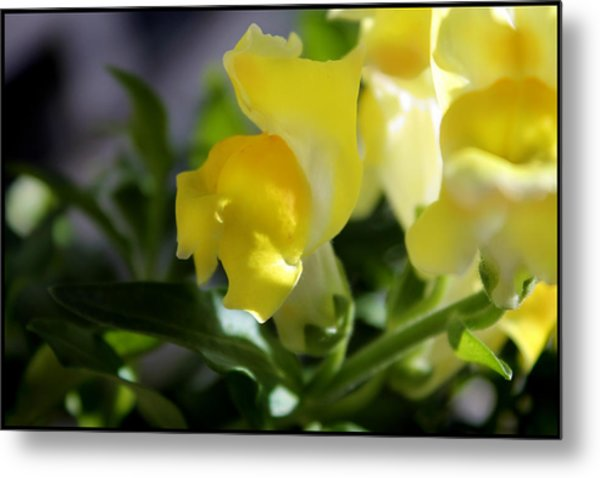 Yellow Snapdragons I Metal Print by Aya Murrells