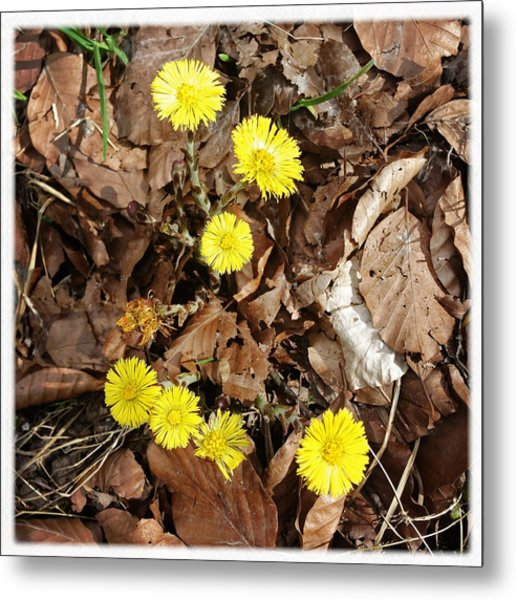 Yellow Spring Flowers And Old Brown Leaves Metal Print