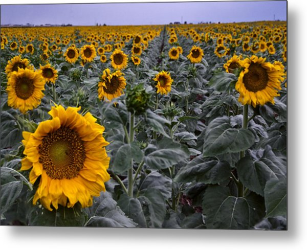 Yellow Sunflower Field Metal Print