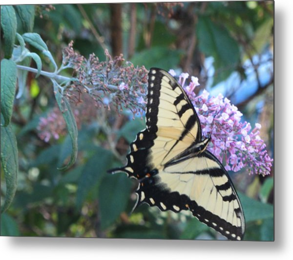 Yellow Swallowtail Butterfly Metal Print by Debbie Nester