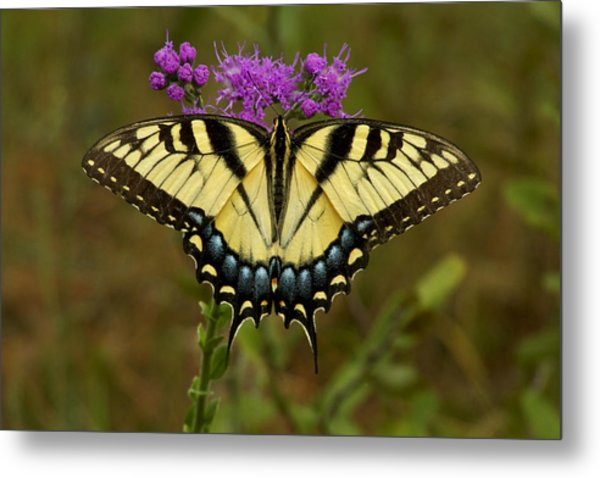 Yellow Tiger Swallowtail Butterfly. Metal Print