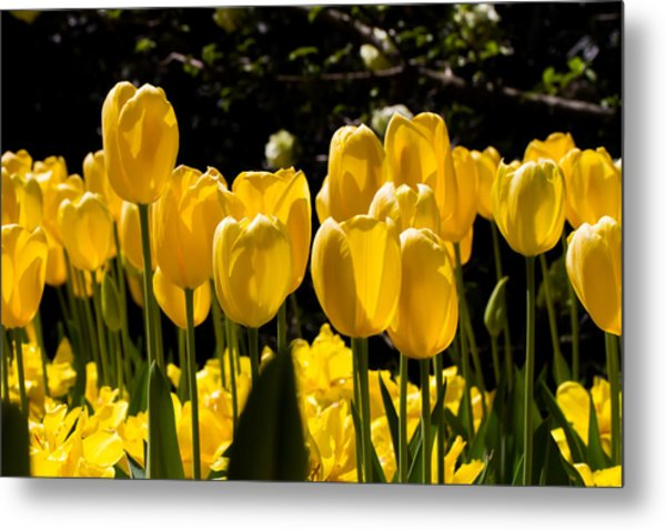 Yellow Tulip Attention Metal Print