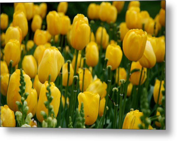 Yellow Tulip Sea Metal Print