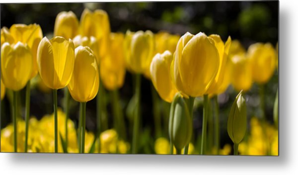 Yellow Tulips On Parade Metal Print
