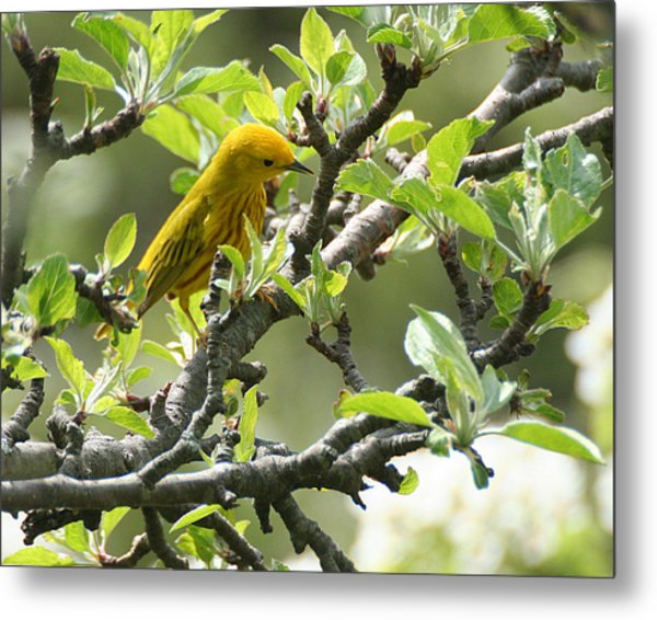 Yellow Warbler In Pear Tree Metal Print
