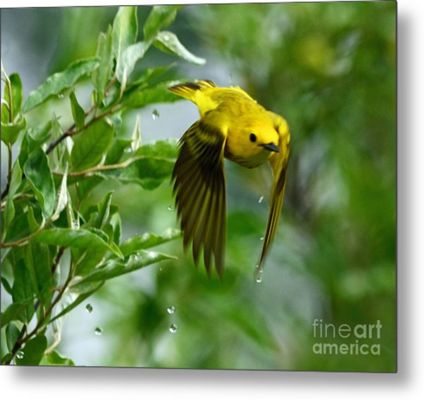 Yellow Warbler Takes Flight Metal Print