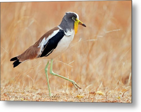 Yellow-wattled Lapwing Metal Print
