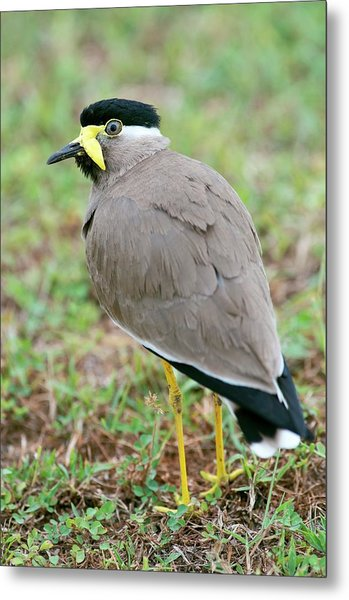 Yellow Wattled Lapwing Metal Print