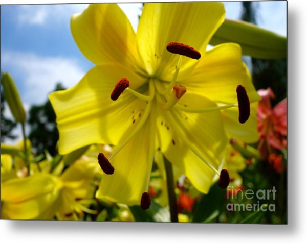 Yellow Whopper Lily 2 Metal Print