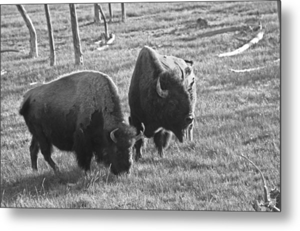 Yellowstone Bison In Late Afternoon Metal Print