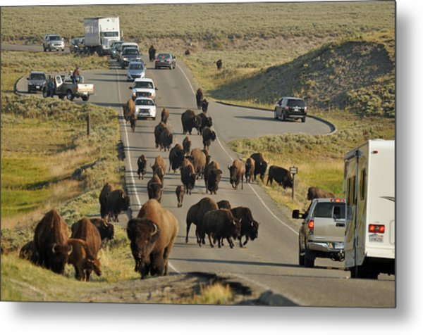 Yellowstone Bison Jam Metal Print