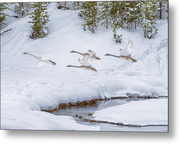 Yellowstone Geese Fly By Metal Print by David Yack