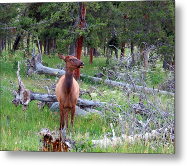 Yellowstone Moments. Doe Metal Print